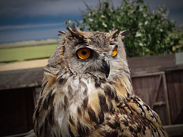 Close-Up Eagle Owl Perching Outdoors