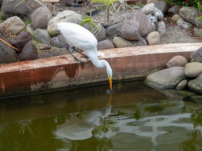 White Egret feeding in pond Water Animal Animal Wildlife No People Perching White Egret White Egret Feeding  Pool Rock Animals In The Wild Rock - Object
