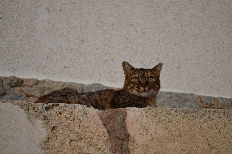 cat on wall Animal Cat Cat On Wall Getigerte Katze Katze Mauer Mit Katze No People