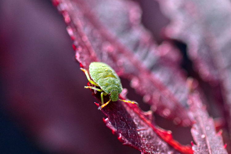 Close-up of green shield bug on red leaf