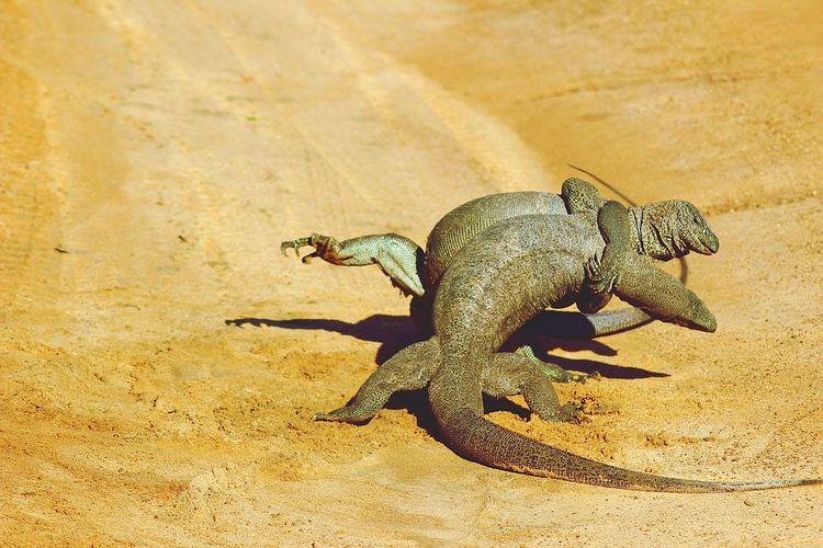 Iguanas fighting on fields