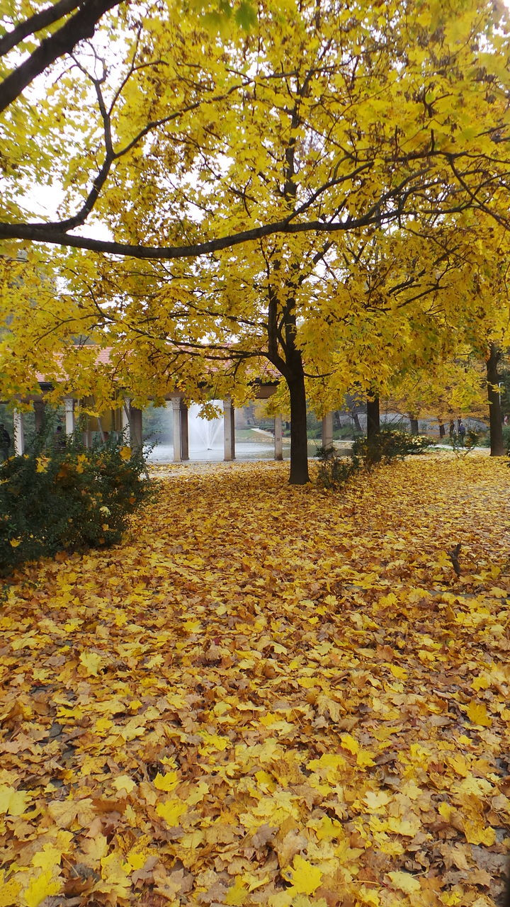 autumn, leaf, change, tree, nature, beauty in nature, yellow, scenics, outdoors, tranquility, day, maple tree, fallen, no people, maple, maple leaf, branch, growth