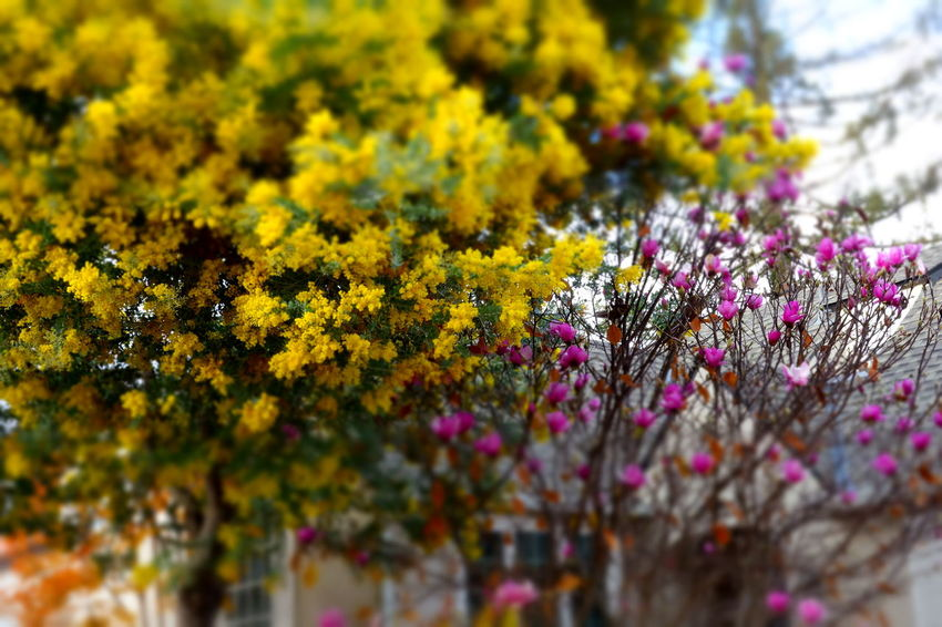Mimose Tree Nature Beauty In Nature Magnolia Autumn California Colors Of Autumn Outdoors No People Low Angle View Small Town Color Photography Blurred On Purpose Eyeemphotography December