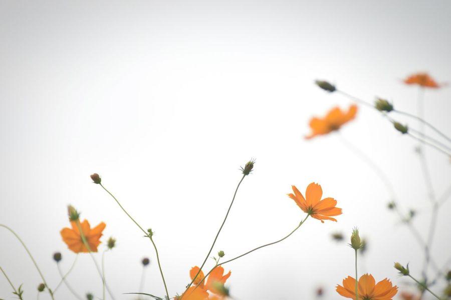 眼に映る者達への感動とその内側にある眼に見えない大切な物への畏敬を込めてシャッターを押す。 Nature Beauty In Nature Flower Fragility Sky キバナコスモス Cosmos 秋桜 コスモス Orange Color