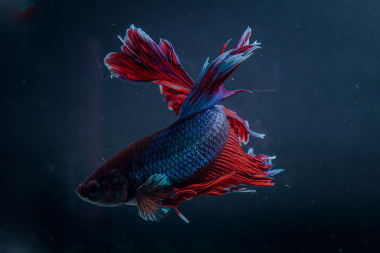 Beautyful tail betta fish