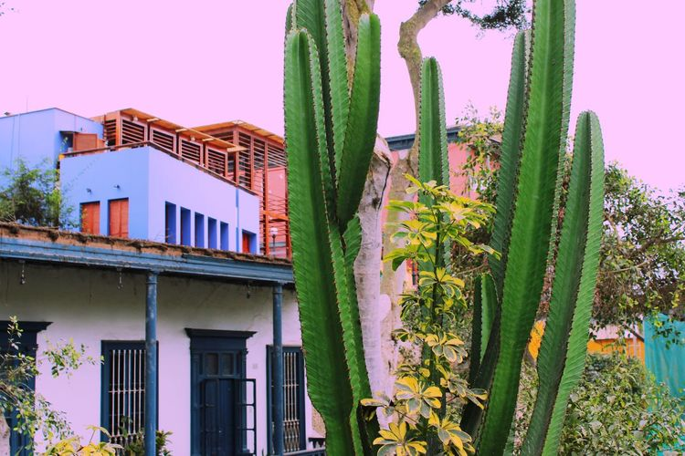 Really digging this edit. EyeEm Best Edits Edit Pink Tint Cactus Plants Flowers City Vscocam Canon