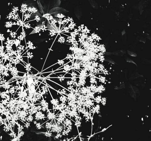 like fireworks Natural Structures Blackandwhite Atmospheric Mood Mediteranean Still Life Pattern, Texture, Shape And Form Botanical Structures In Nature Structures Shadows & Lights EyeEm Best Shots EyeEm Nature Lover EyeEm Selects EyeEm Best Shots - Black + White Lesbos Greek Greek Nature Flower Backgrounds Close-up Growing Plant Life Sparks