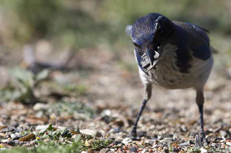Close-Up Of Western Scrub Jay Collecting Seeds On Field