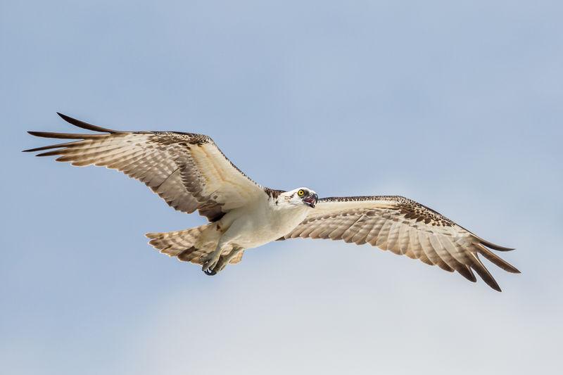 Flying osprey, pandion haliaetus, everglades national park, florida