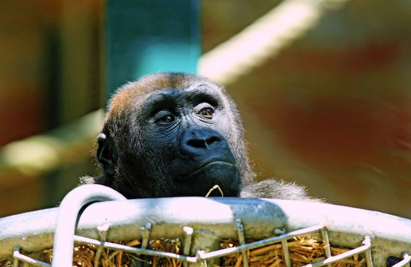 Western Lowland Gorilla Animal Animal Head  Animal Themes Animal Wildlife Animals In Captivity Ape Aspinall Foundation Baby Animal Cage Captive Bred Close-up Mammal Monkey No People One Animal Primate Zoology