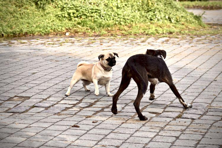 Dogs standing on cobblestone
