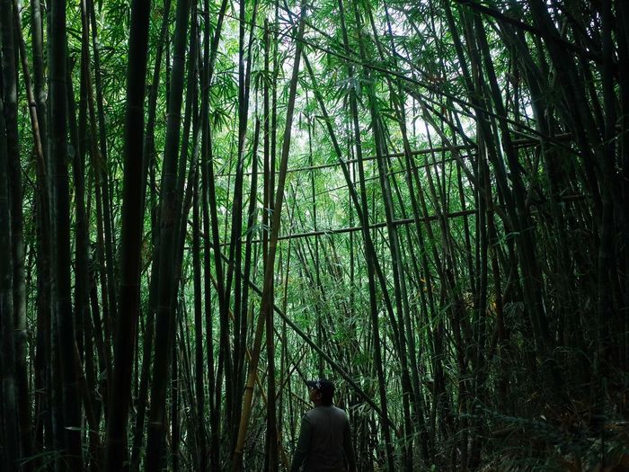 Rear view of bamboo trees in forest