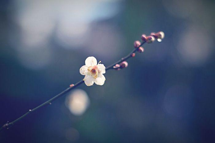 どうなってるの?今年の冬…雪が積もる前に、梅が咲いちゃったw(°O°)w Showcase: January In My Garden 梅 Flowers Eye4photography  Winter After The Rain Check This Out EyeEm Nature Lover Simplicity 日日是好日 Bokeh Toyama-shi