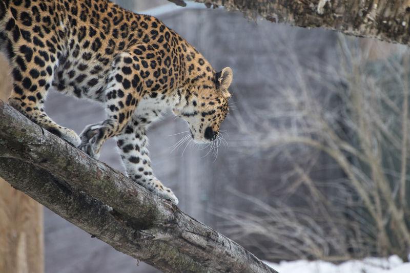Jaguar climbing down tree looking away