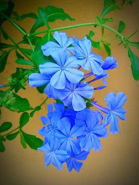 cape leadwort Cape Leadwort White Plumbago White Plumbago , Darlia Rahman : Plumbago Auriculata Plumbago พยับหมอก Flower Head Flower Blue Leaf Springtime Beauty Multi Colored Petal Purple Iris - Plant