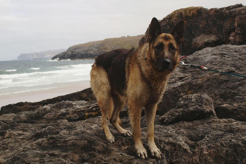 Beach Rocks Dog Pets Animal Sea One Animal Sand Water Outdoors Portrait Domestic Animals Looking At Camera No People Animal Themes Day Nature Sky Wave North Coast 500 Scotland German Shepherd Dog  Ted Overcast Scenics Coast