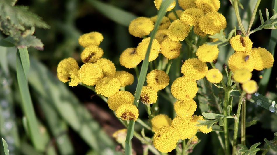 yellow tansy flowers in greenery Autumn Colors Life Backgrounds Beauty In Nature Close-up Fall Flora Flower Flower Head Focus On Foreground Fragility Freshness Garden Green Color Greenery Growth Nature No People Outdoors Plant Tansy Yellow