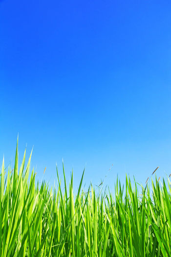 Close-up of grass on field against clear blue sky