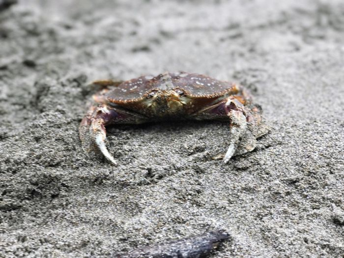 Sommergefühle One Animal Animal Themes Animals In The Wild No People Sand Day Hermit Crab Close-up Outdoors Beach Animal Wildlife Nature Crab Beach Crabs