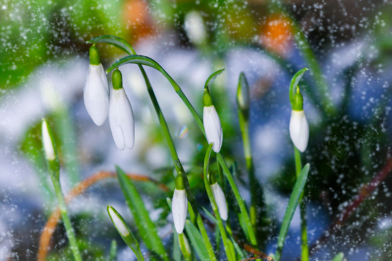 Spring Snowdrops Plant Nature Growth Freshness Beauty In Nature Flower No People Water Close-up Snowdrop Drop Flowering Plant Wet Winter Day Vulnerability  Fragility Snow Outdoors Springtime Snowing Flowerbed