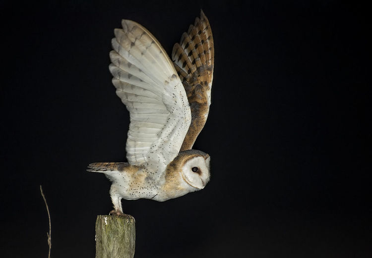 Close-up of owl with spread wings over black background