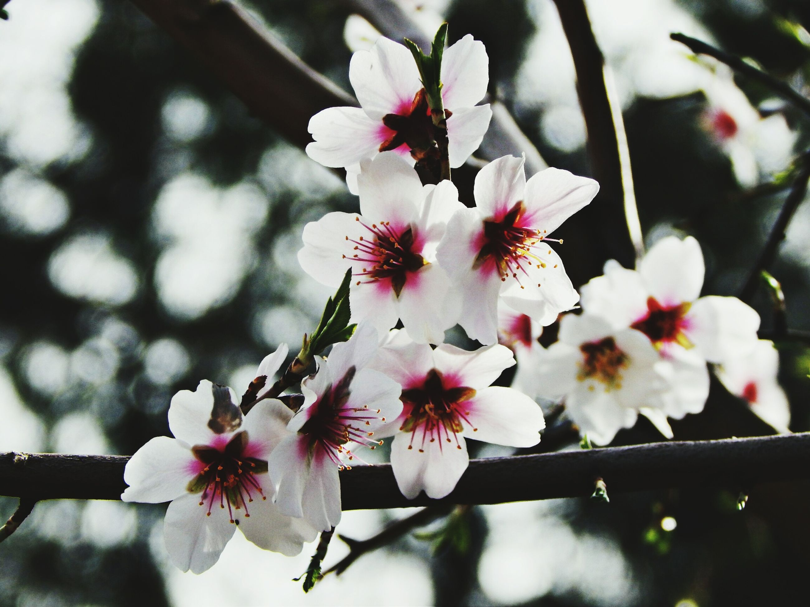 flower, freshness, fragility, pink color, petal, growth, branch, beauty in nature, focus on foreground, cherry blossom, flower head, close-up, tree, nature, blossom, blooming, in bloom, pink, springtime, twig