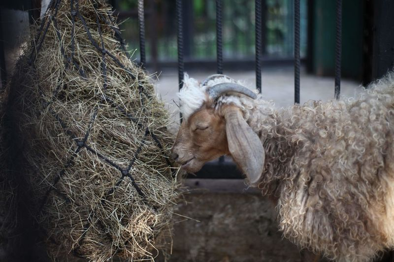 Goats are eating food