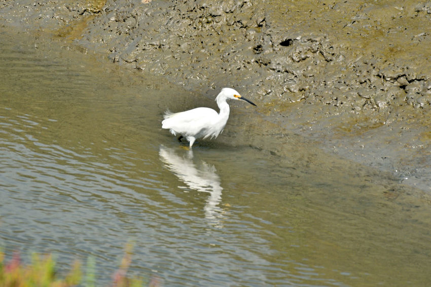 Snowy Egret 1 Hayward Regional Shoreline ParkEgretta Thula Ardeidae Small White Heron Forager Probes Mud By Paddling Its Feet Water Stalk Their Prey In Shallow Water Mudflats Habitant : Saltmarshes, Estuaries, Tidal Channels Shallow Bays, Mangroves, Saltwater Lagoons, Ponds Diet : Fish, Frogs, Worms, Crustaceans, Insects Permanent Residents Pacific Coast Of North California South And Central America Atlantic Coast Nature Avian Birdwatching Birds_collection Bird Photography Bird_lovers Orinthology Reflection Reflected Glory