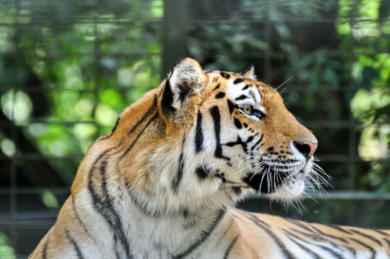 Close-Up Of Tiger Outdoors