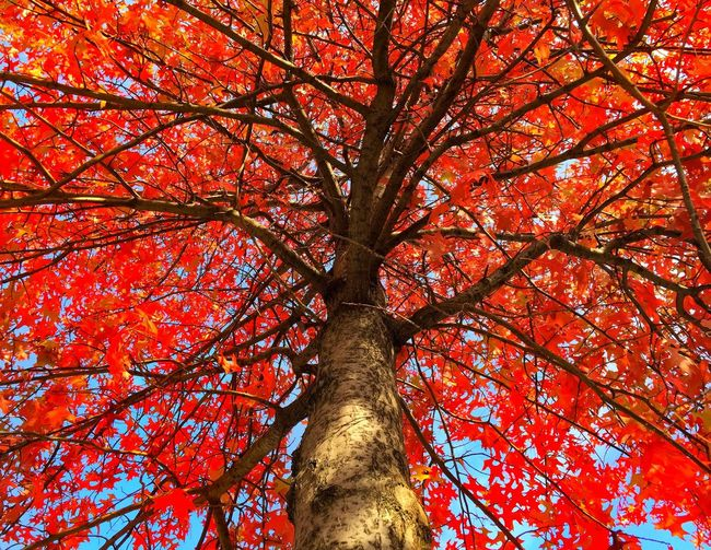 Coloursplash Milan,Italy Perspective Look Up IPhoneography Autumn Leaves Tree Autumn Colors Red And Yellow My World In Color IPS2015Fall Perspectives On Nature