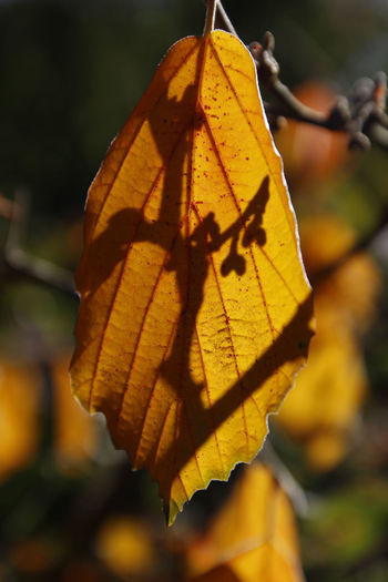 the colours of nature... Backlight Autumn Beauty In Nature Change Close-up Day Focus On Foreground Freshness Growth Leaf Maple Nature No People Outdoors Plant Tree Witch Hazel Yellow