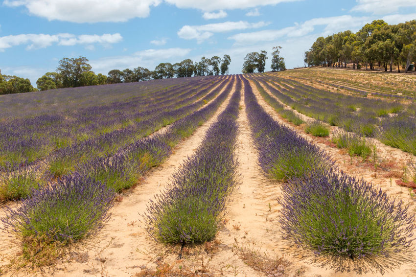 Agriculture Beauty In Nature Blue Cloud - Sky Day Environment Farm Field Growth Land Landscape Lavender Nature No People Outdoors Plant Purple Rural Scene Scenics - Nature Sky Tranquil Scene Tranquility Travel Destinations Tree EyeEmNewHere