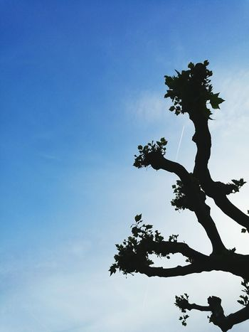 Tree Trees Blue Sky Sky Nature Photography Nature Nature_collection Nature's Diversities Sunny Evening Sunny Warm Evening Flight Line Air Line Air Lines Plane Lines Plane No People Calm Taking Photos Close-up