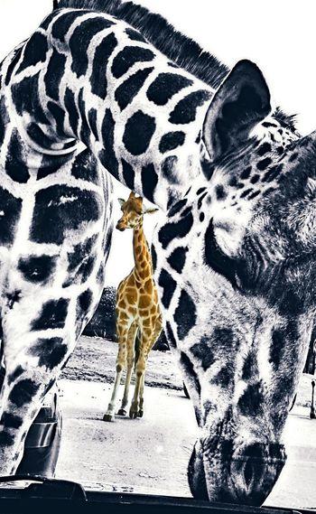 Beekse Bergen Beekse Bergen EyeEm Best Shots EyeEm Nature Lover Animal Head  Animal Themes Eyeemphotography EyeEmNewHere Giraffes Blackandwhite Edited My Way