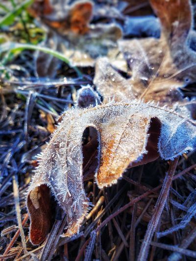 Close-up of frozen dry leaves on field