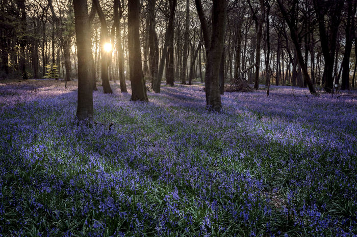 Evening Bluebell Woodlands Beauty In Nature Bluebell Flower Forest Landscape Nature Scenics Spingtime Colours Spring Sunbeam Sunlight Tranquility Tree WoodLand
