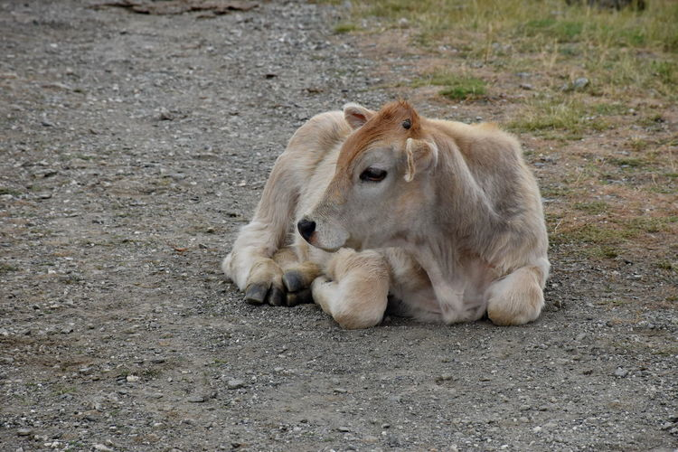 Calf resting on a road