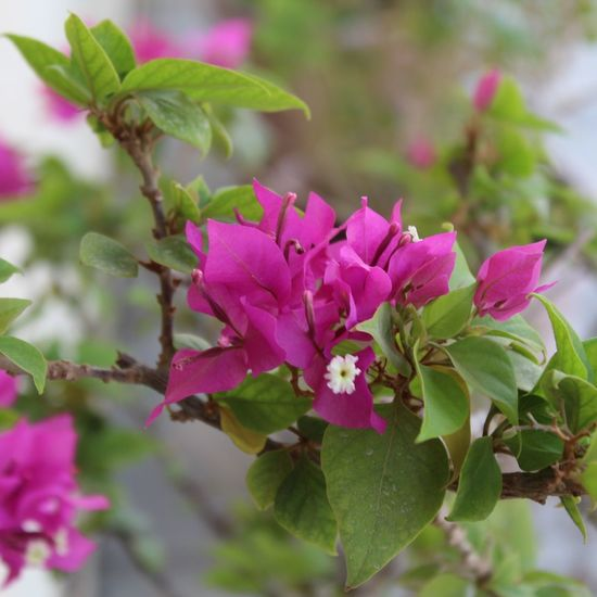 Pink Color Flower Plant Leaf Nature No People Beauty In Nature Outdoors Multi Colored Day Springtime Close-up Flower Head Beauty Freshness