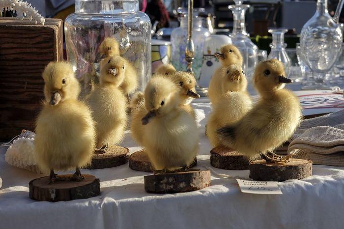 Taxidermy Easter Chicks Chicks