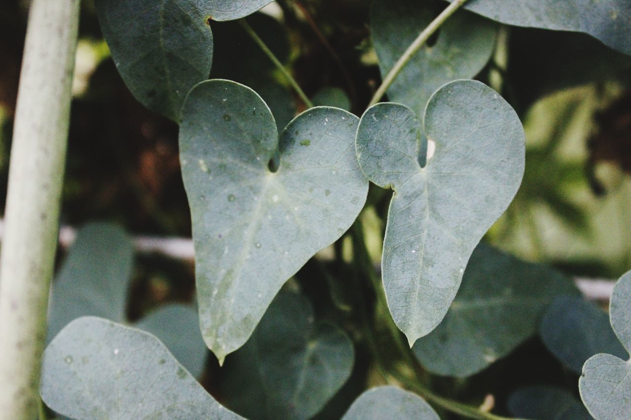 close-up, growth, plant part, leaf, plant, no people, nature, focus on foreground, beauty in nature, day, outdoors, heart shape, positive emotion, freshness, love, green color, sunlight, flower, white color, emotion