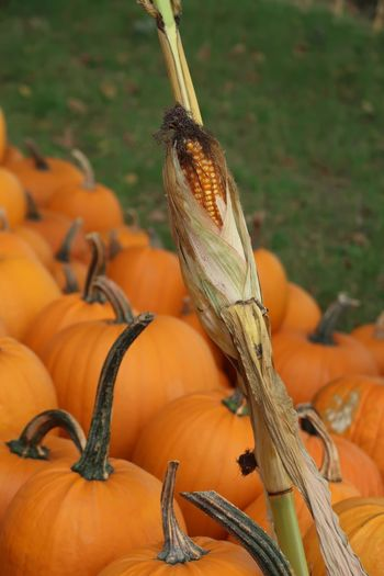 Pumpkin Corn Orange Color Animal Themes One Animal Animals In The Wild No People Animal Wildlife Focus On Foreground Nature Close-up Animal Healthy Eating Pumpkin Day Food And Drink Food Reptile Vegetable Plant Stem High Angle View Plant