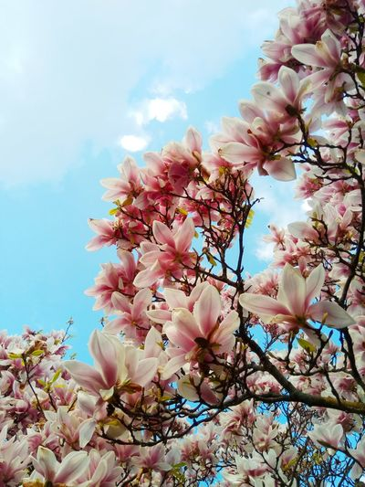 Magnolia petals against a blue sky Magnolia Tree Springtime Spring Flower Head Flower Tree Branch Springtime Petal Pink Color Blossom White Color Sky Magnolia In Bloom Plant Life Botany Blooming