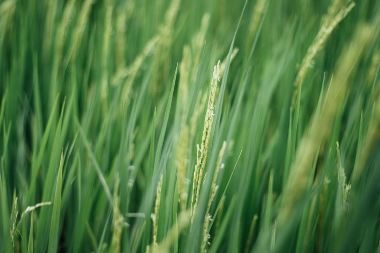 Rice plant Green Color Growth Agriculture Plant Field Cereal Plant Backgrounds Crop  Full Frame Beauty In Nature Selective Focus Land Nature No People Wheat Rural Scene Farm Close-up Landscape Day Outdoors Blade Of Grass Stalk