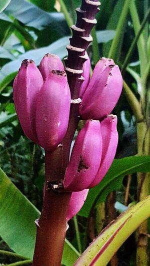 Nature Photography Nature_collection Banana Purple ♥ Purple PurpleBanana Venezuela Venezuela_captures Venezuelatravel Sanfelipe HotelAntigua CasaDeLaNaturaleza
