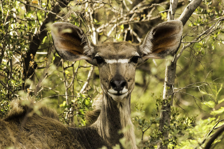 Portrait of a female Kudu looking at the camera. African Wildlife Buck Kudu Antelope Animal Themes Animal Wildlife Animals In The Wild Beauty In Nature Close-up Day Forest Grass Looking At Camera Mammal Nature No People One Animal Outdoors Portrait Tree