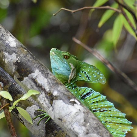 One Animal Animal Themes Animals In The Wild Animal Wildlife Nature Reptile Lizard Green Color Outdoors Tree Day No People Close-up Tortuguero  Green Basilisk