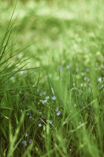 Cereal Plant Timothy Grass Summer Rural Scene Field Uncultivated Agriculture Close-up Grass Plant