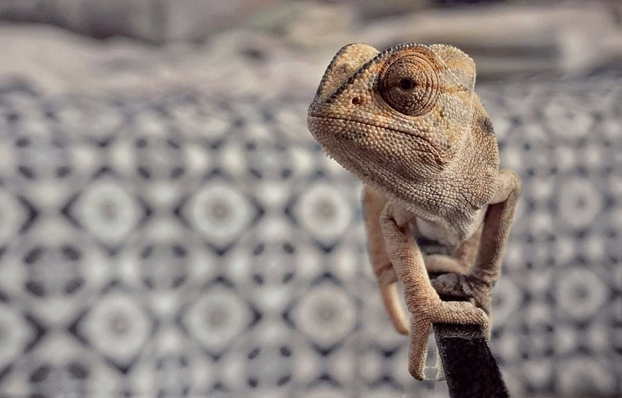 One Animal Reptile Focus On Foreground Lizard Bearded Dragon Animal Themes Animals In The Wild Animal Wildlife No People Day Outdoors Close-up Nature Iguana IPhoneography Iphone7 