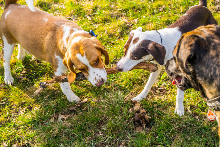 High Angle View Of Dogs Fighting For Stick On Grassy Field
