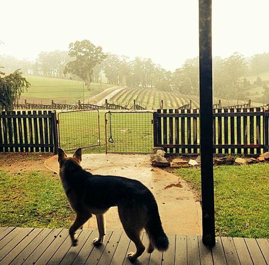 Home Pemberton South Western Australia Winter Rain Vineyard Dog German Shepherd Border Collie What I Value